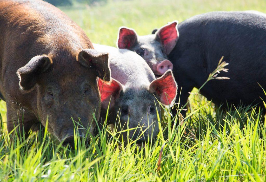 Heritage Pork at TC Farm
